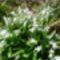 Scilla thunbergii