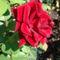 Bársonyos rózsa