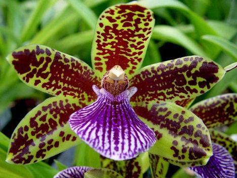 orchidea-