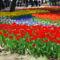 Tulips,Hitachi_Seaside_Park,Hitachinaka-city,Japan