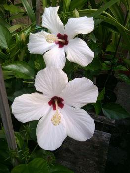 Hibiscus fehér bordó középpel