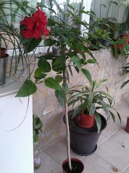 Hibiscus piros dupla