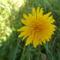 Mátrafüred rét virága