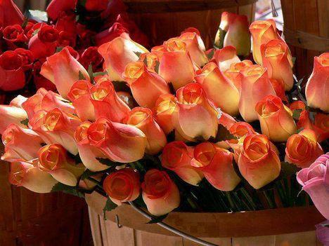 rózsák_