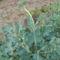 Brokkoli a kiskerti zöld növények királya.