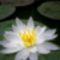 szép-képek-fehér-tündérrózsa