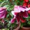 Kertemből egy szép liliom