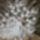 Fehér páva