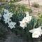 Fehér nárcisz