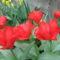 Holland tulipánok