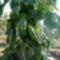 Zöld kápia