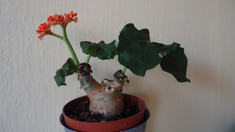 Palackcserje  (jatropha podagrica compaeta)