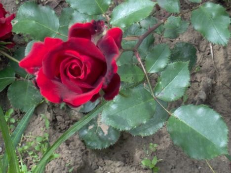 rózsák 023