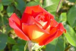 szép rózsa
