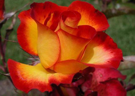 szép rózsa,