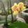 Korek Éva orchideái
