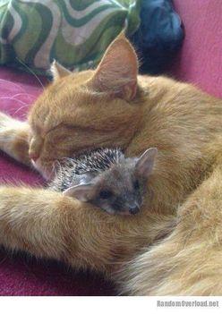 Cica és süni