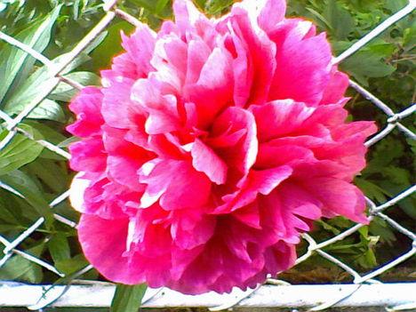 Csodaszép pünkösdi rózsám, amely átbújt a kerítésen