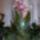 Hajdu Pálné orchideái