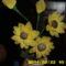 Sárga virágom.