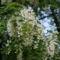 Akácfa virágzáskor 10