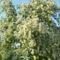 Akácfa virágzáskor 14