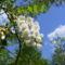 Akácfa virágzáskor 6