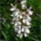 Akácfa virágzáskor 7