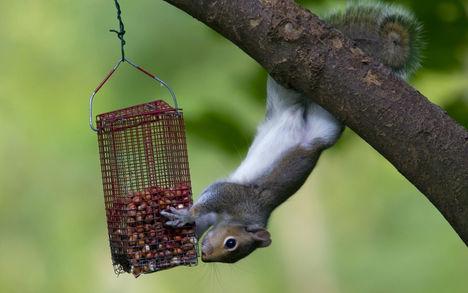még a mókus is...