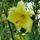 Ujj józsef és Rozál pár virágja