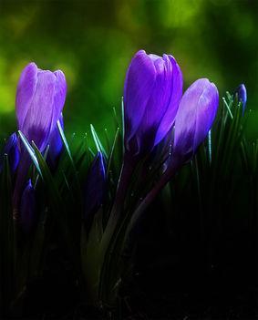 tavasz hírnöke
