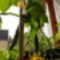 Márciusban terem az uborka az ablakban