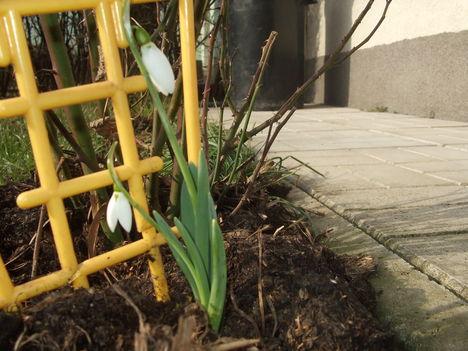 2011 egy tő, hóvirágom