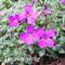 Tavaszi virágok 029