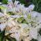 fehér színű virág a nyugi kertben 7