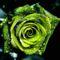 vizes zöld rózsa