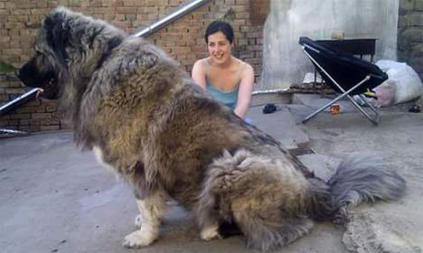 Kaukázusi medveölő!