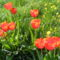 Tulipános hangulat