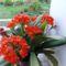 A legkorábban szabadba rakható virágzó cserepes virág:klivia