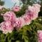 Korai fás pünkösdi rózsa