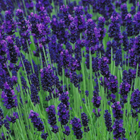 lavandula_angustifolia_levendula_levendula_farm_hl_09