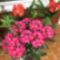 Rhododendron háttérben klíviával