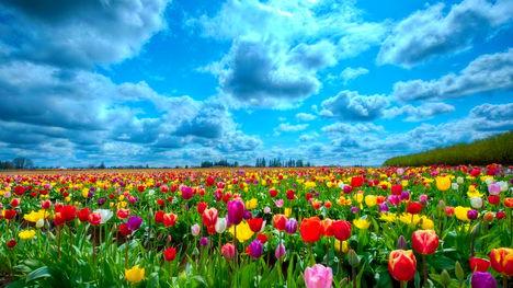 Tulipánmező Hollandia-3054
