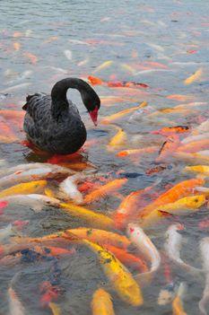 Arany halban nincs hiány