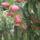 fenyőfa  virága