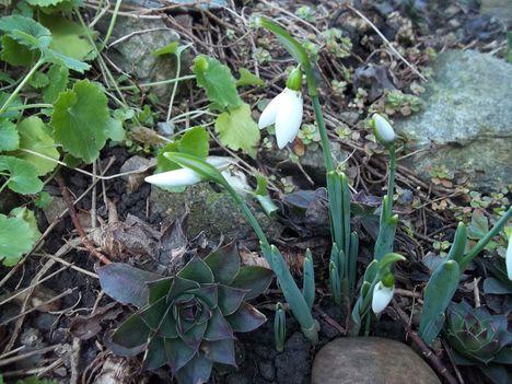Hóvirág (ma január l6-án)