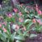 Nyíló tulipánjaim, s dupla nárciszaim