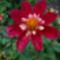 Pillangó dália Vörös-rózsaszín