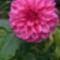 Rózsaszín-lila cirmos dekor dália