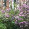 Havasszépe - rododendron